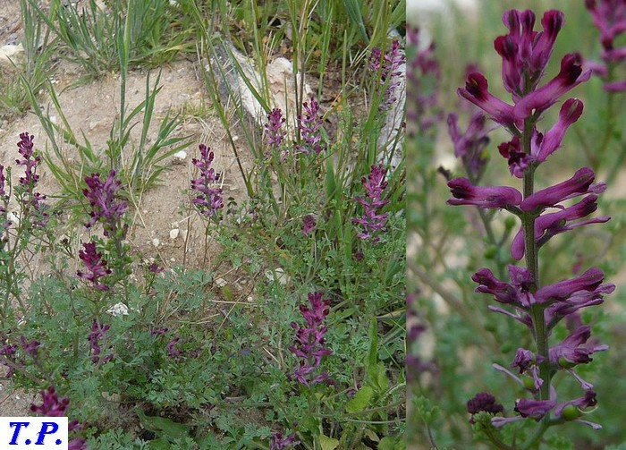 Fumaria officinalis - Fumeterre officinale
