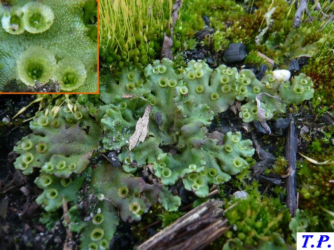 Marchantia polymorpha - Hépatique