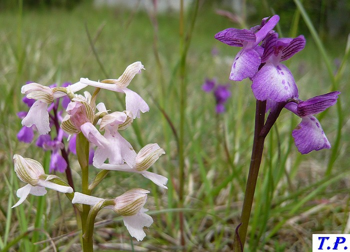 Orchis morio - Orchis bouffon 3